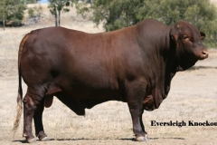 Lot 107 Eversleigh Knockout (P) D2