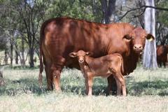Alma Tawny WV 4719 hfr calf