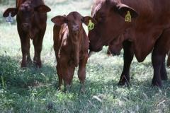 Tawny bull calf to WV Carnival