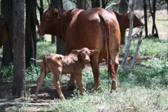 Newborn Tawny heifer calf to WV Eden