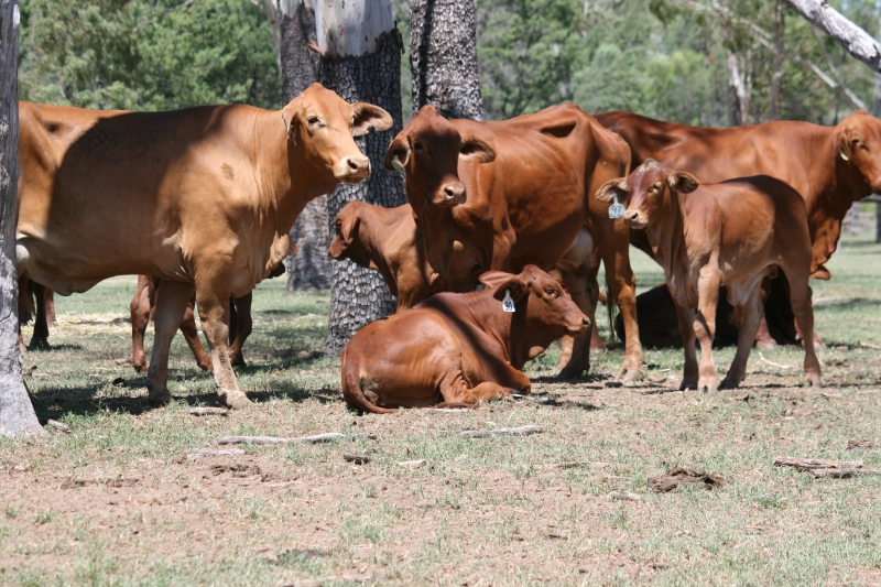 Auctions Plus cows & calves