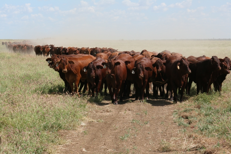 Block up! Mustering 350+ young heifers.