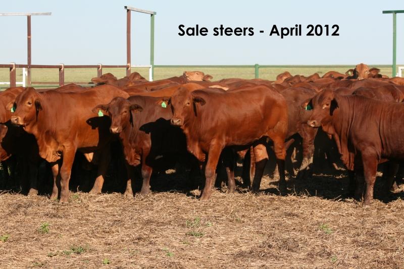 Agistment steers at Burslem 2012