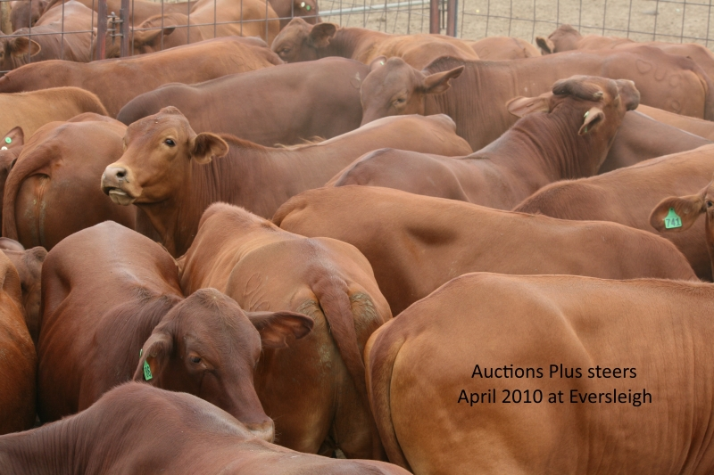 Auctions Plus No 9 steers 2010