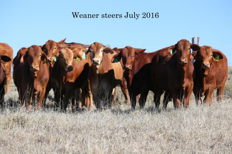Eversleigh & Wallace Vale weaner steers -July 2016