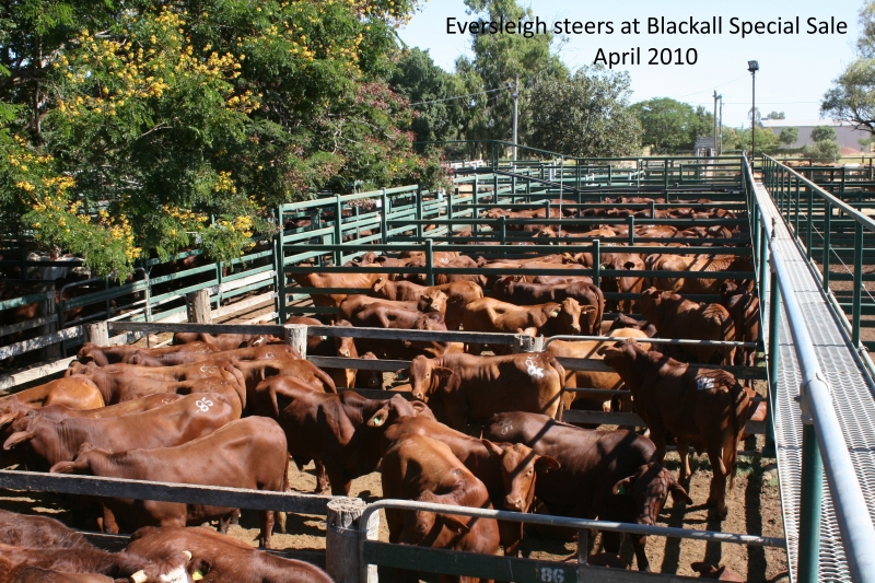 Eversleigh steers blackall