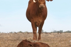 Droughtmaster-QCL-ad-heifer-