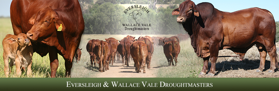 Eversleigh and Wallace Vale Droughtmasters