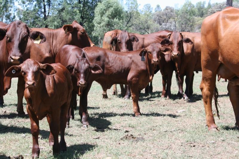 Auctions Plus cows & calves