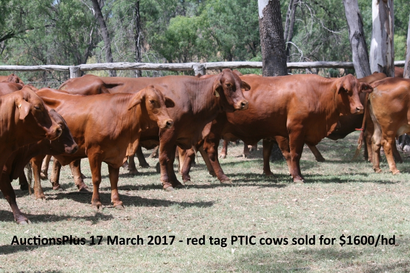 Auctions Plus red tag cows