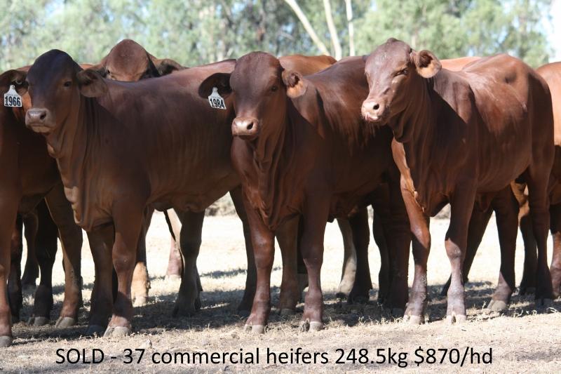 Light commercial heifers
