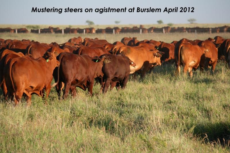 Mustering agistment steers at Burslem 2012