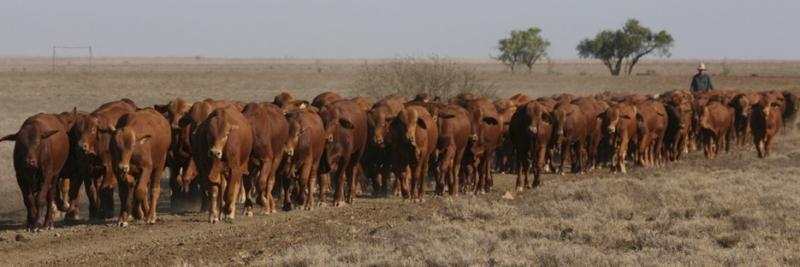 No 1 bulls 21 November (1)-web