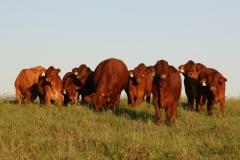 Cultivation Buffel Pdk weaners Feb 2016