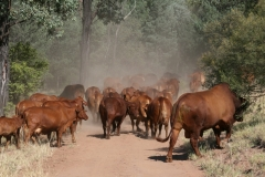 Mustering heifers and calves - Mountain Pdk 10 April 2016