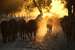 Tailing weaners - August 2016