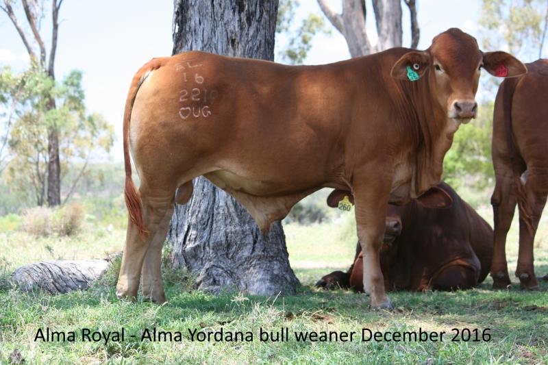 Alma Yordana bull weaner December 2016